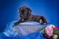 Картинка щенок, корзина, кане-корсо, цветы, ткань