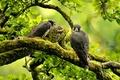 Картинка сокол, птицы, ветки, сапсан