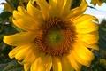 Картинка подсолнух, Лето, пчела, краски июня, цветение