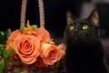 Картинка кошка, кот, цветы, розы, чёрный кот