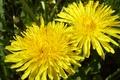 Картинка макро, одуванчик, желтый, цветок