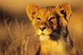 Картинка животные, кошки, природа, лев, саванна, львенок, cats