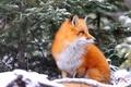 Картинка зима, рыжая, лиса, ель, ветки