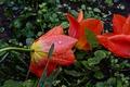 Картинка Rain, Drops, Капли Дождя, Red tulips, Красные тюльпаны