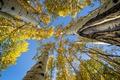 Картинка небо, жёлтые, деревья, берёзы, осень, стволы