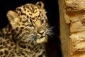 Картинка усы, животные, wallpapers, леопард, взгляд, фон, морда, обои, пятна