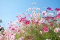 Картинка поле, небо, природа, лепестки, луг, космея
