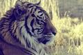 Картинка взгляд, животное, макро, тигр, tiger, трава, смотрит