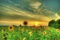 Картинка закат, облака, подсолнухи, небо, лето, поле