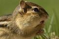 Картинка Бурундук, chipmunk, grass, трава, грызун, rodent