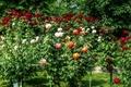 Картинка flowers, природа, кусты, розы, colors, roses, summer, лето, Цветы, nature