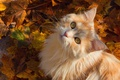 Картинка кот, осень, пушистая, мордочка, листья, рыжий кот, взгляд, усы, кошка
