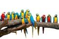 Картинка птицы, белый фон, разноцветные, попугаи