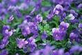 Картинка цветы, макро, анютины глазки, фиолетовые, природа, поляна