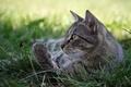 Картинка кошка, лежит, трава, кот, природа