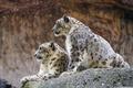 Картинка кошка, пара, ирбис, снежный барс, камень, ©Tambako The Jaguar, профиль