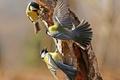 Картинка синица, перья, игра, крылья, дерево, птицы, хвост, ствол