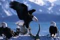 Картинка Орел, птицы, горы