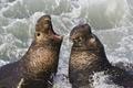Картинка волны, побережье, USA, California, San Simeon, Северные морские слоны (Mirounga angustirostris, Northern Elephant Seal), Piedras ...