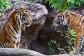 Картинка пара, взгляд, тигр, кошки, суматранский, профиль