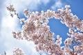 Картинка цветы, ветка, небо, весна, сад