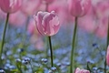 Картинка незабудки, тюльпаны, размытость, лепестки, поле, голубые, розовые, Цветы