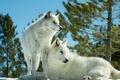 Картинка хищники, волки, парочка