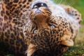 Картинка усы, леопард, взгляд, играет, оскал, leopard, морда