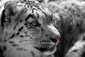 Картинка морда, хищник, ирбис, снежный барс, дикая кошка
