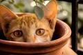 Картинка кошка, ветка, выглядывает, котенок, рыжий, горшок