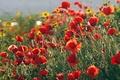 Картинка другие цветы, красные, Маки, поле, желтые