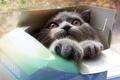 Картинка взгляд, коробка, серый, морда, Кошка, глаза, лапы, кот