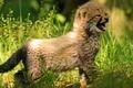 Картинка детёныш, трава, гепард, малыш, котёнок