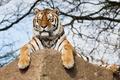 Картинка tiger, branches, tree, rock
