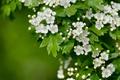 Картинка макро, цветение, цветки, боярышник