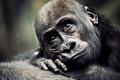 Картинка обезьяна, примат, детеныш, горилла
