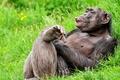 Картинка поза, отдых, смешной, шимпанзе, обезьяна, примат, трава, язык
