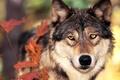 Картинка Волк, осень, листья