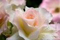 Картинка капли, Нежная, роза