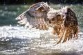 Картинка сова, крылья, вода, взлёт, боке