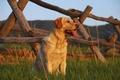 Картинка Пес, собака, поле, забор, трава, взгляд