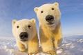 Картинка небо, снег, медвежата, белый медведь, север