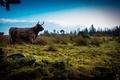 Картинка Scotland, небо, поле, бык, природа, шотландия, трава