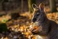 Картинка осень, кенгуру, природа