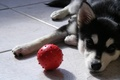 Картинка собака, мяч, взгляд, мячик, щенок, хаски, пес