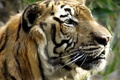 Картинка взгляд, смотрит, Тигр