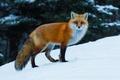 Картинка лисица, лиса, снег, рыжая, зима