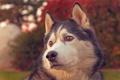 Картинка портрет, хаски, морда, собака