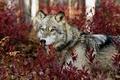 Картинка Волк, взгляд, растения, листья