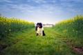Картинка dog, australian shepherd, farm, field, way